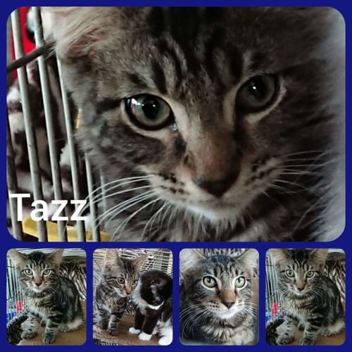 Tazz - Manx Cat
