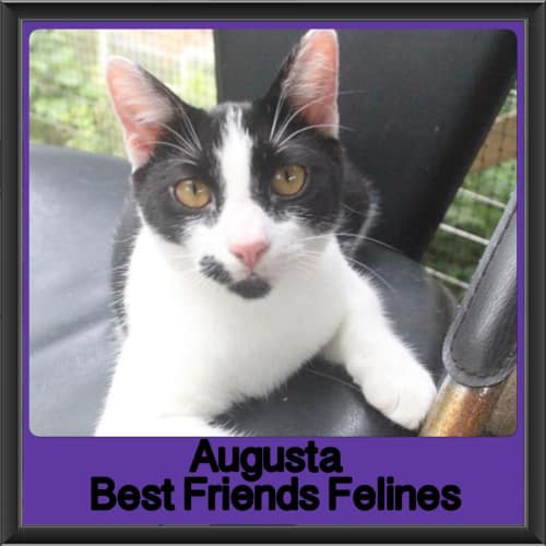 Augusta - Domestic Short Hair Cat