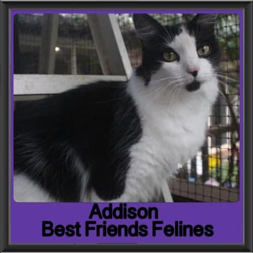 Addison - Ragdoll Cat