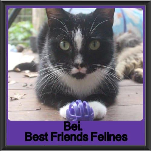 Bei - Domestic Short Hair Cat