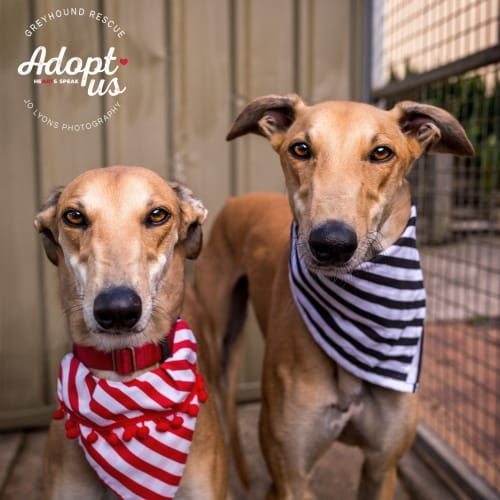 Bixby & Avery - Greyhound Dog