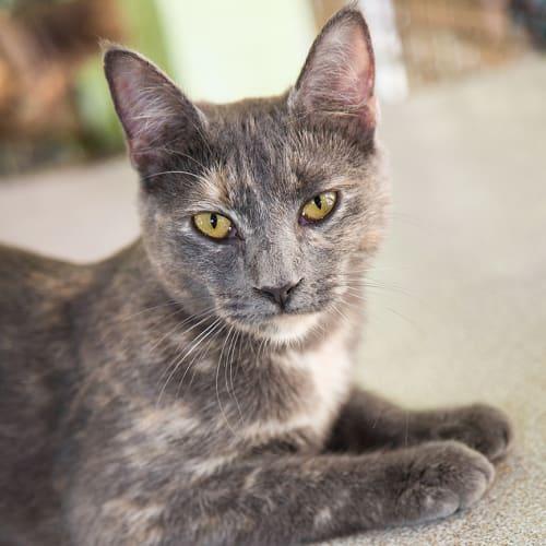 Morrissa - Oriental Cat