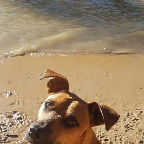 Buddy - Mastiff x Red Heeler Dog