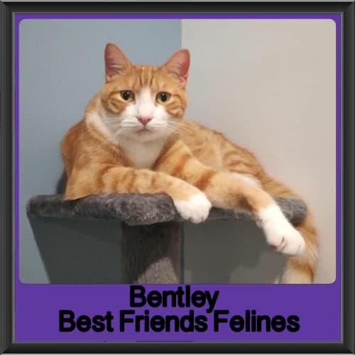 Bentley  - Domestic Short Hair Cat