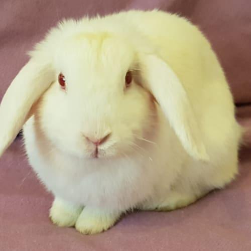 Vanilla - Dwarf Lop Rabbit