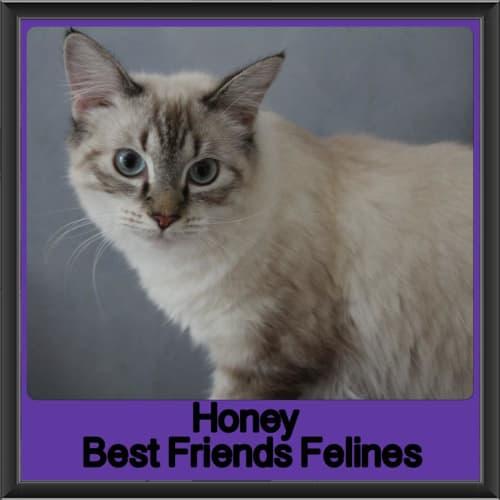 Honey  - Ragdoll Cat
