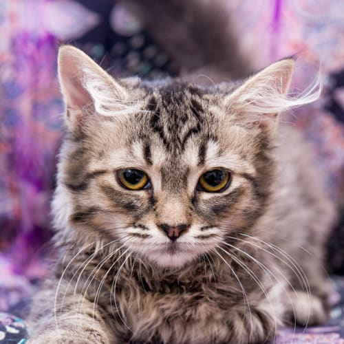 Thelma - Domestic Medium Hair Cat