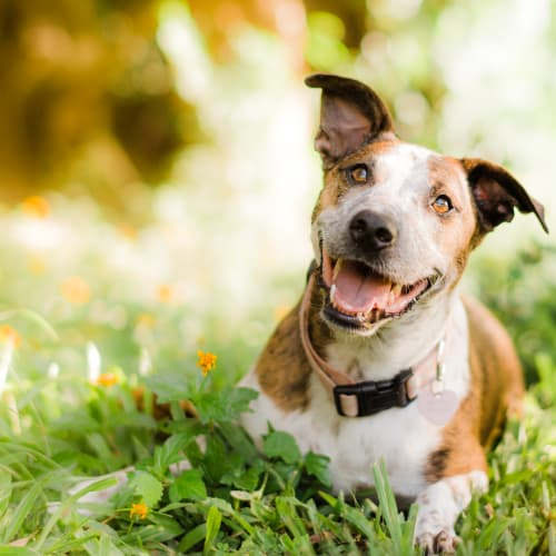 Sweet Pea - Staffy Dog