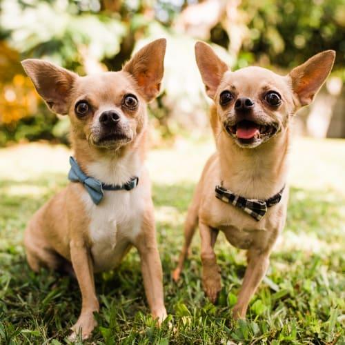 Pablo & Vito  - Chihuahua Dog