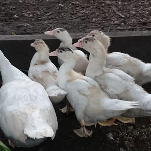 Muscovy Ducklings Hens x 2 -  Duck