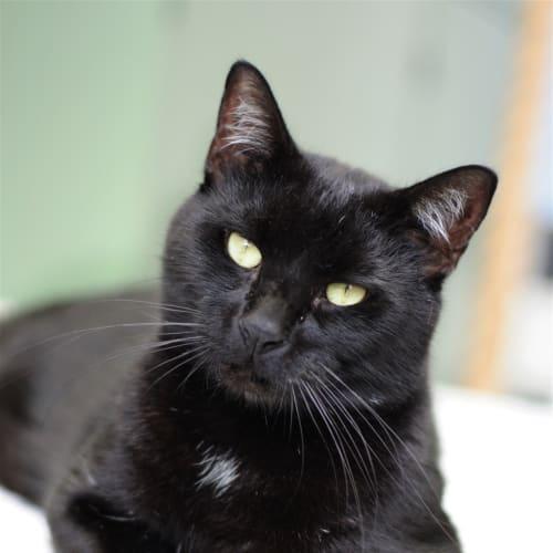 Cameron - Domestic Short Hair Cat