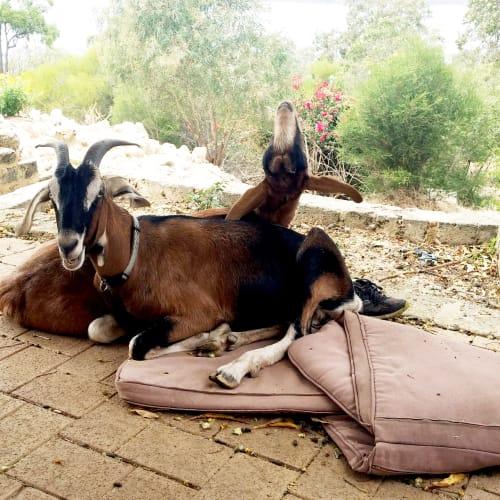 Josie & Gus -  Goat