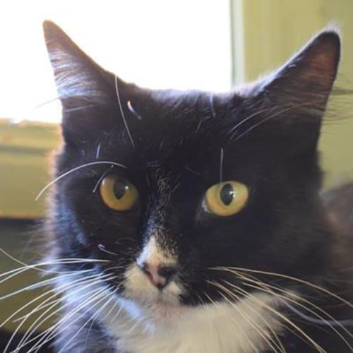 Skylar 889739 - Domestic Medium Hair Cat