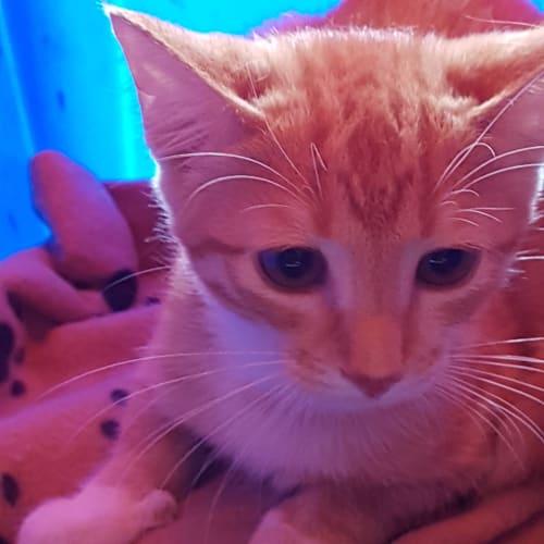 Custard - Moggie Cat