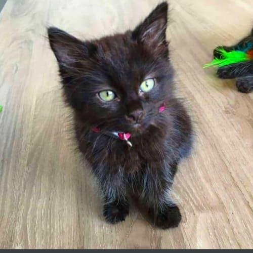 Jynx - Domestic Long Hair Cat