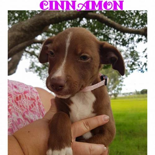 Cinnamon - Border Collie x Staffy Dog