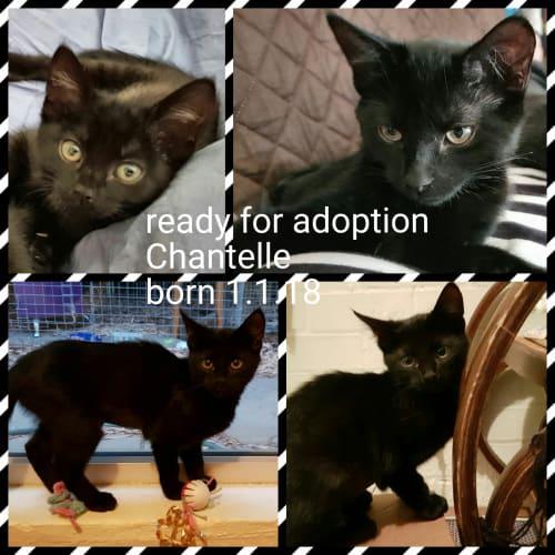 Chantelle - Domestic Short Hair Cat