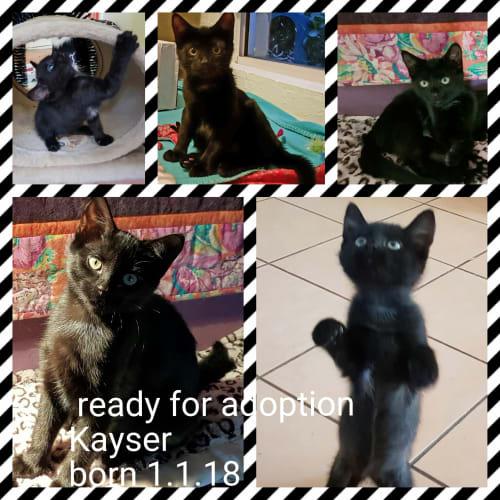 Kayser - Domestic Short Hair Cat