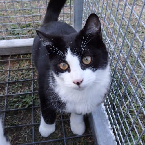 Ryan - Domestic Short Hair Cat
