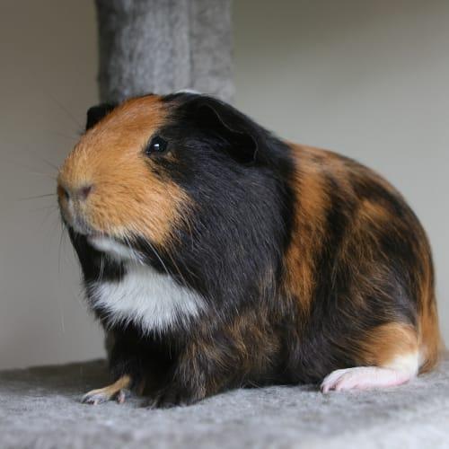 Dalinar - Desexed -  Guinea Pig
