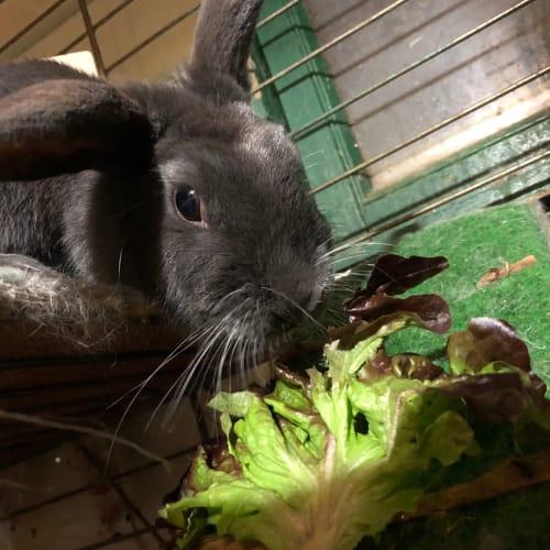 Blue-belle - Domestic Rabbit