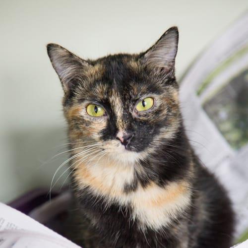 Risha - Birman x Himalayan Cat