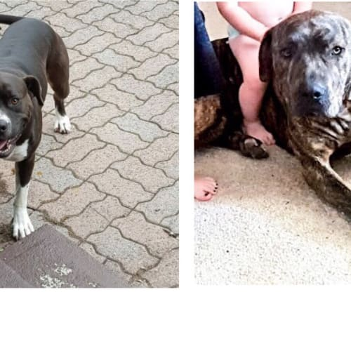 Zoe and Orlando - Amstaff x Mastiff Dog