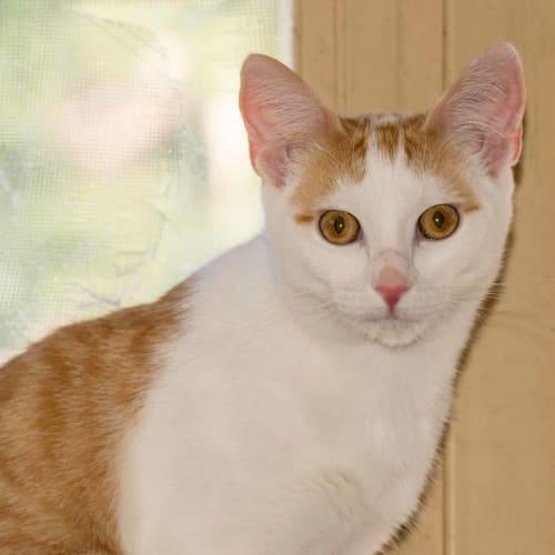 Duke - Domestic Short Hair Cat