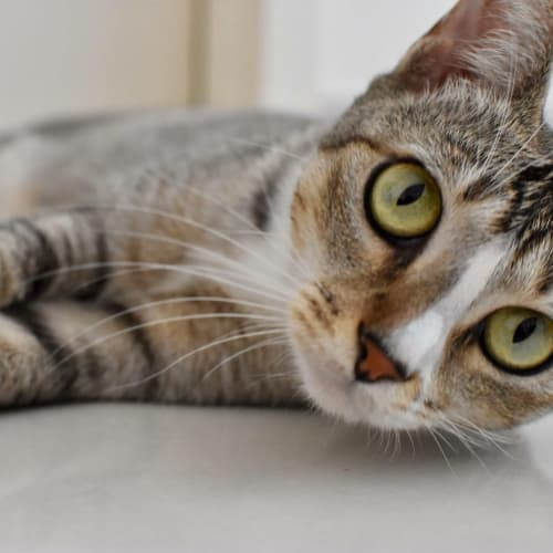 Umima - Domestic Short Hair Cat
