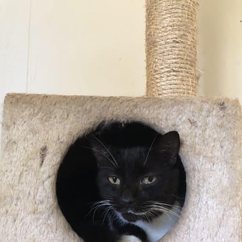 Velouria - Domestic Short Hair Cat