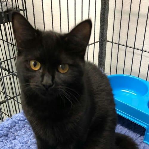 Rupert - Domestic Short Hair Cat