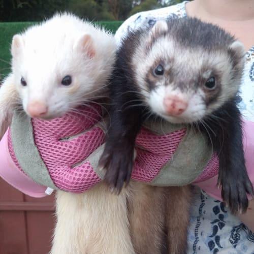 Milli & Joey -  Ferret