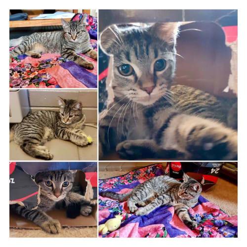 Dasher - Domestic Short Hair Cat