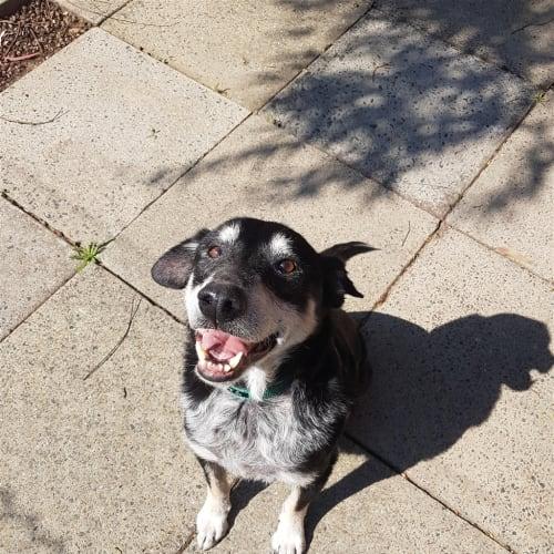 Keith - Border Collie Dog