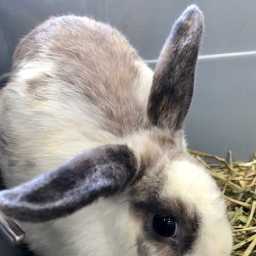 Missy - Mini Lop x Rex Rabbit