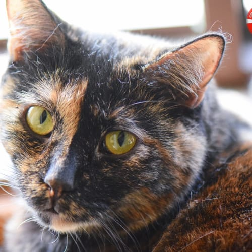 Jacinta - a Rare Jewel of a Cat - Domestic Short Hair Cat