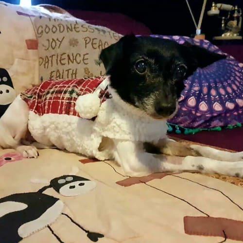 Betty - Miniature Fox Terrier Dog