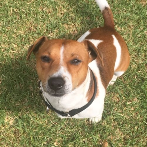 Chino Gandolfo - Jack Russell Terrier Dog