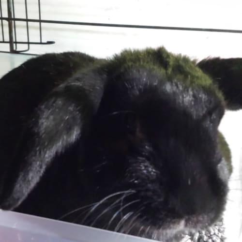 Stewy - Dwarf Lop Rabbit