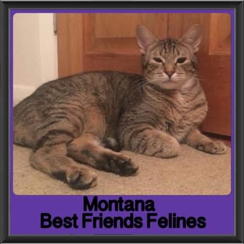 Montana  - Domestic Short Hair Cat