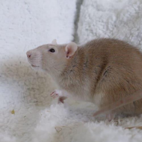 Winnie -  Rodent
