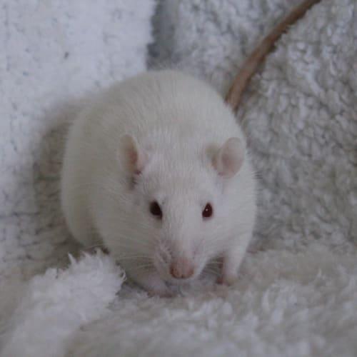 Nova -  Rodent