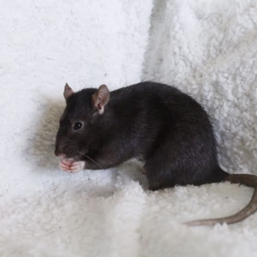 Sootie **On Trial** -  Rodent