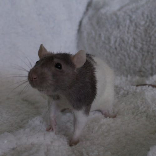 Bella **On Trial** -  Rodent