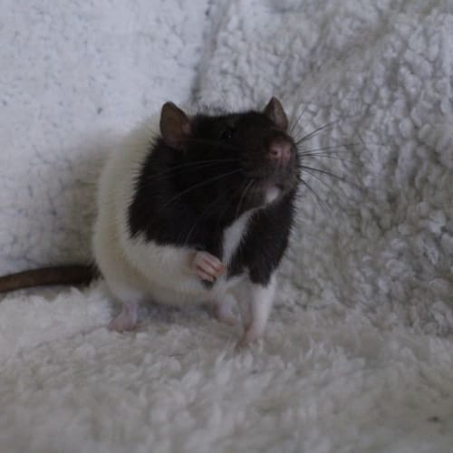 Abby   -  Rodent