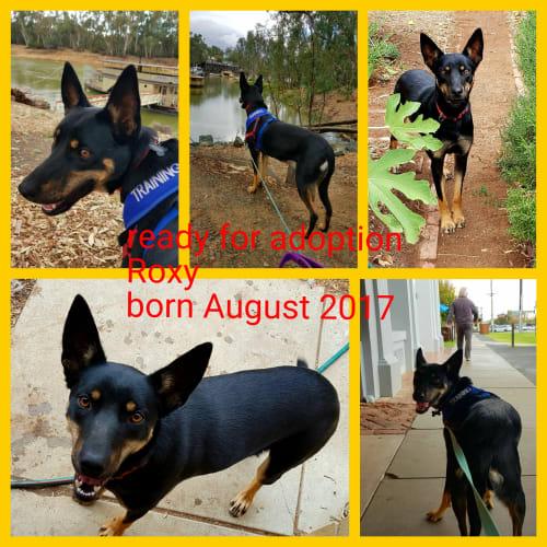 Roxy - Kelpie Dog
