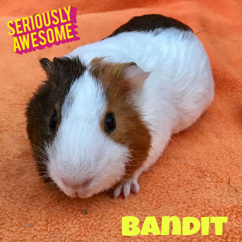Bandit - Smooth Hair Guinea Pig