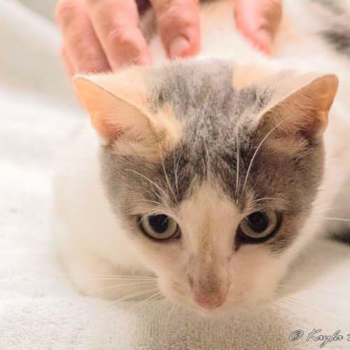 Tic Tac  - Domestic Short Hair Cat