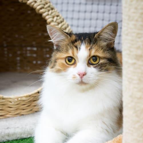 Clara **On Hold** - Domestic Medium Hair Cat