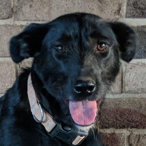 Debra - Kelpie x Wolfhound Dog